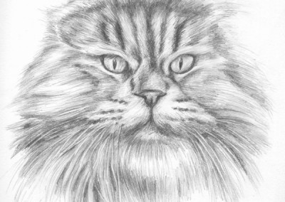 From photo to portrait in pencil of a big persian cat on paper