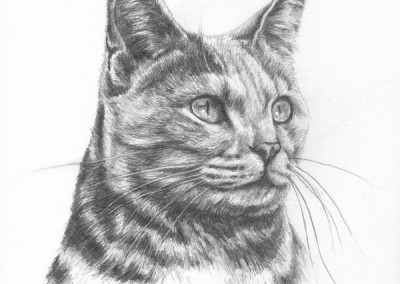From photo to portrait in pencil of the head of a tabby cat
