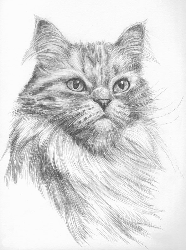 Pencil portrait of a persian cat
