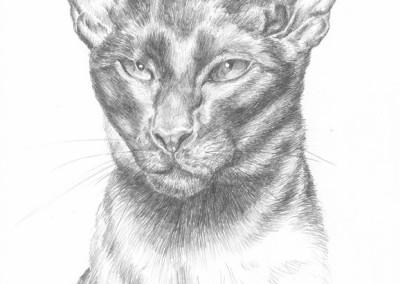 Graphite pencil portrait of a Siamese cat